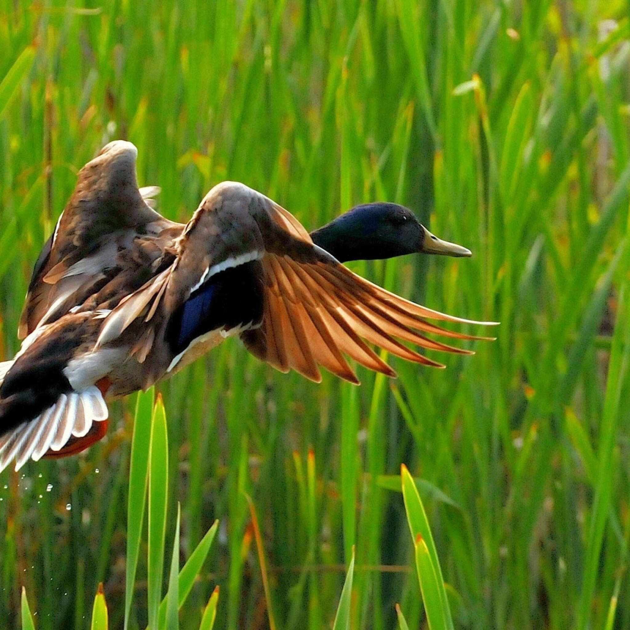 flying-duck-2048x2048
